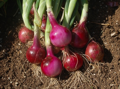 onion thinnings