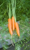 carrot thinnings
