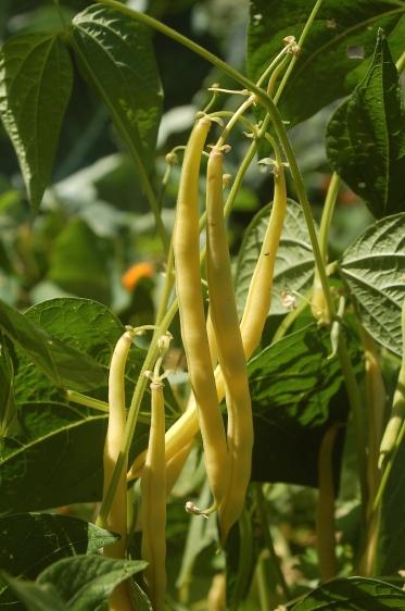 yellow filet beans
