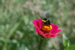 bumblebee on zinnia