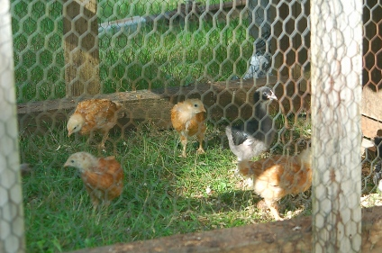 new pullets