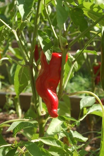 italian sweet pepper