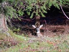 spike deer bedded down at woods edge