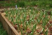 February garlic