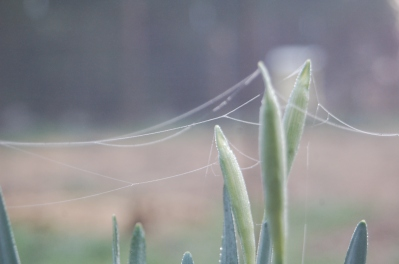 webs amongst the daffodils