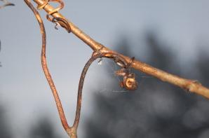 winter grape vine