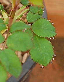 dew drops on rose