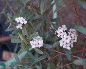 first daphne blooms