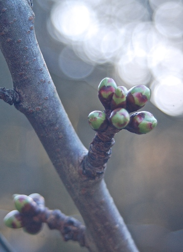 sweet cherry buds