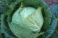 over-wintered cabbage