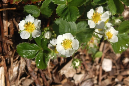 strawberry blossoms