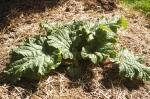 spring rhubarb