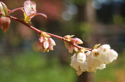 blueberry blossoms