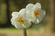 last doffodils