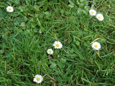 english daisies in the yard