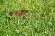 calf in the grass
