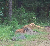 buck bedded down @ the edge of the woods