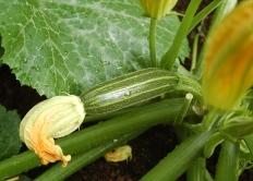 1st zucchini