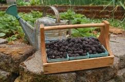 Marionberries- early morning harvest