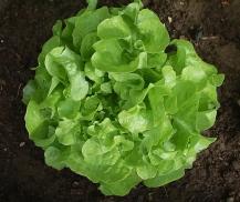 lettuce bouquet