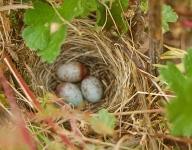 nest in the gooseberries