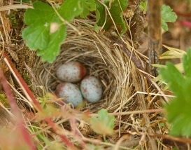nest in the gooseberries