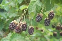 Boysenberries- not quite ripe