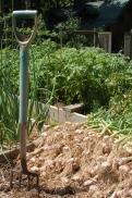 harvesting garlic