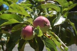 baby apples