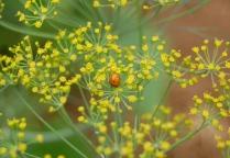 ladybug & dill