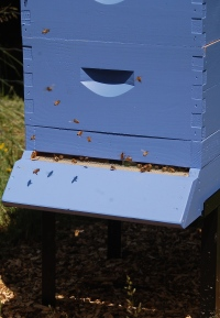 blueberry hive