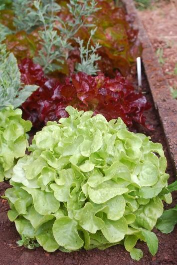 lettuce row