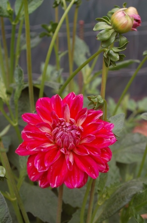 1st dahlia bloom