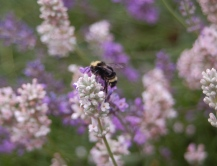 bumble bee in lavender