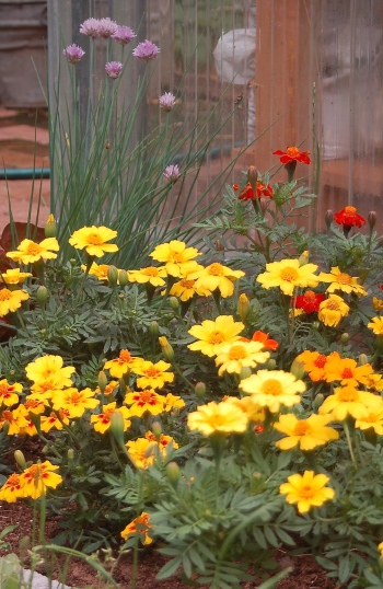 french marigolds