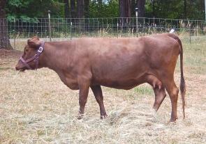 FullCircle Eloise-6 year old Dun Dexter cow.