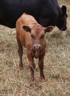 FullCircle Walter- 7 week old Dun Dexter bull calf