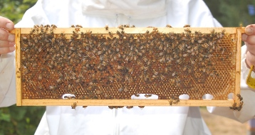 Queenless hive frame packed w/ pollen