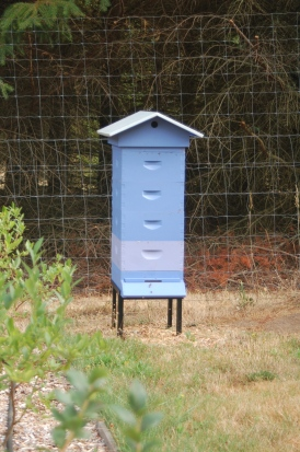 Swarm hive box melded w/ queenless blueberry hive