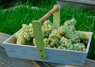 raisin grape harvest