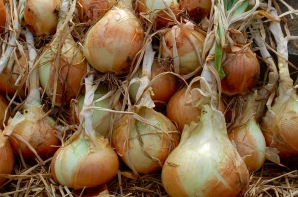 yellow onion harvest