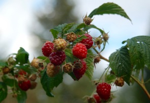 fall raspberries