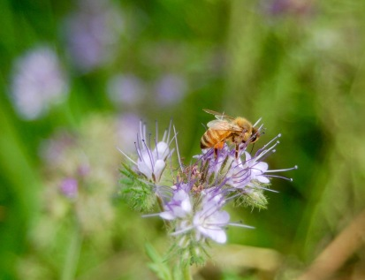 honey bee on phacelia