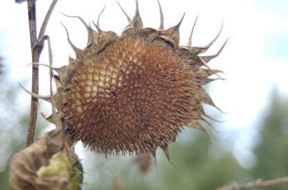 sunflower skeleton